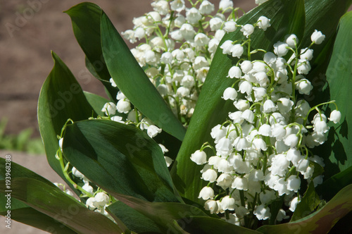 Lily Of The Valley Flowers Natural Background With Blooming Lilies
