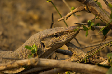 The monitor lizard in keoladeo national park.