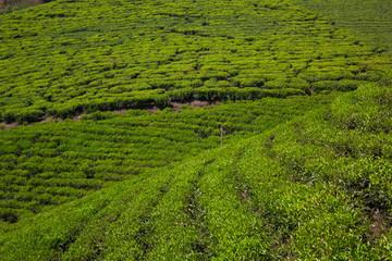 Plantations of tea in Munnar. India.