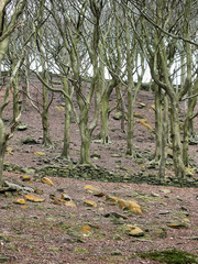 stark woodland winter trees with twisted branches on a hillside with bareground with a ruined stone wall and scattered rocks