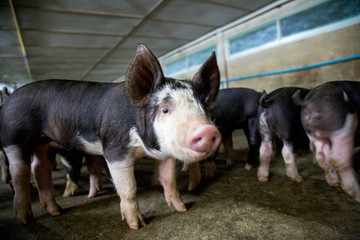 """Berkshire Pig or Kurobuta Pig - swine farming business. Pig farming is the raising and breeding of domestic pigs as livestock. Pig business"