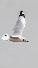 Bird (Laridae) flying on the sky at a nature sea