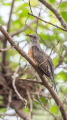 Bird (Plaintive Cuckoo) in a nature wild