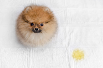 fluffy pomeranian puppy and urine puddle, view from above
