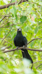 Bird (Asian koel) on tree in nature wild
