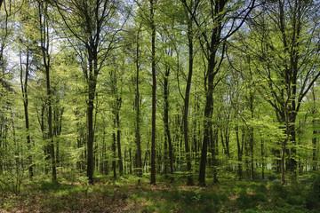 Bluebells in West Wood Marlborough Wiltshire England