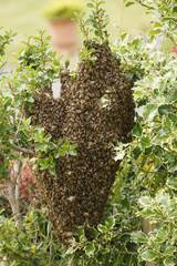 A wild swarm of bees on a bush in a garden