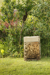 Collecting a wild swarm of bees from a bush in a garden into a collection box