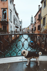 Cute fluffy dog, pug walking in Venice, windy weather, traveling