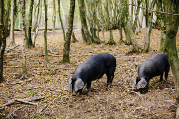 Two pigs hunting truffles