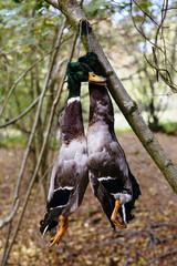 Two dead mallard ducks