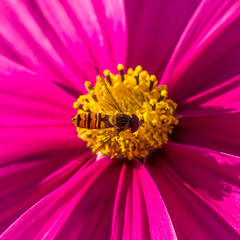 butiner le pollen