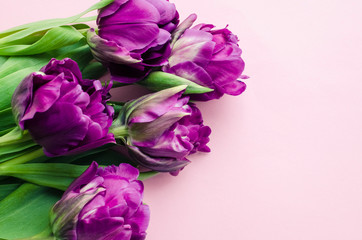 Purple tulips on pink background