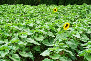Two sunflower blossoms in sea of leaves