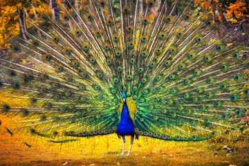 Peacock showing its feathers. Beautiful bird background
