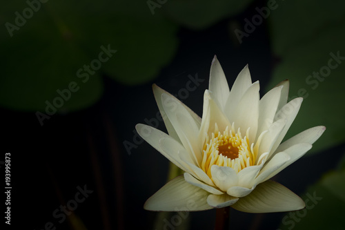 White water lily flower lotus and white background the lotus white water lily flower lotus and white background the lotus flower water mightylinksfo