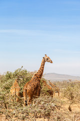 Giraffes in the savanna landscape with trees