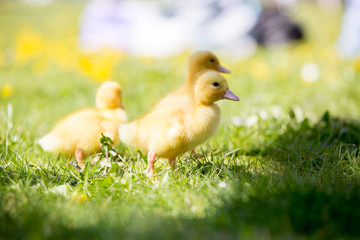 Three little ducklings in a nest, outdoors image in the park