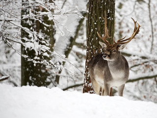 Fallow deer in winter in the forest