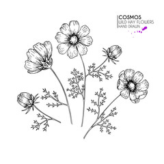 Hand drawn wild hay flowers. Cosmos or cosmea flower. Vintage engraved art. Botanical illustration. Good for cosmetics, medicine, treating, aromatherapy, nursing, package design, field bouquet.