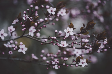 Close-up of cherry blossoms blooming on branches