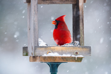 Vibrant red cardinal eating sunflower seeds in open feeder in snow storm.  Close up with soft focus snow background.