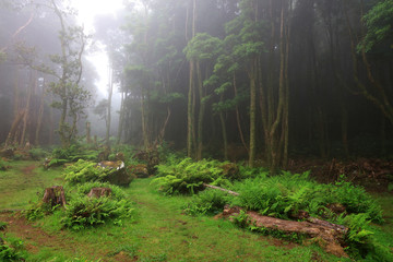 Foggy landscape in the tropical forest at Pozo da Alagoinha, Azores, Portugal, Europe