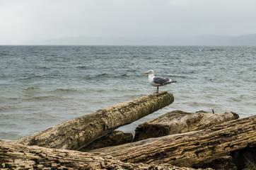 Seagull On Log