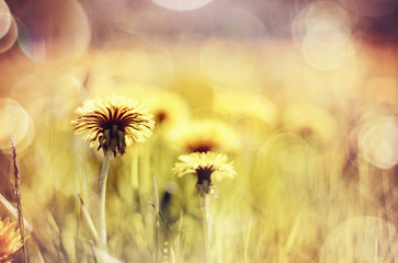 Abstract background with yellow flowers - dandelions.
