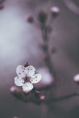 Close-up of fresh cherry blossom blooming on branches