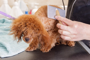 Small chocolate toy poodle during a haircut