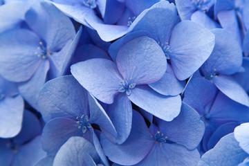 Blue hydranga macro
