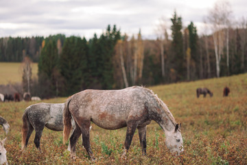 A herd of thin horses is grazing in the daytime in a yellow field in the autumn forest.