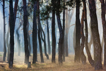 Landscape in pine forest. Rays of light in fog. Beautiful sunny morning