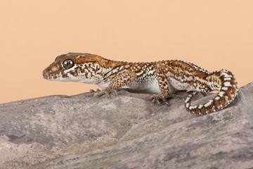 Ocelot Gecko (Paroedura pictus)/Madagascar Ground Gecko basking on rock