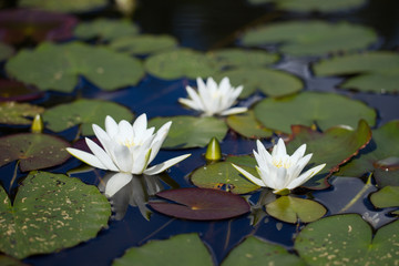 Fine white water-lilies with leaves on the lake in the wild natu