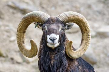 Closeup of a Mouflon sheep