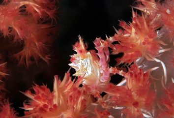 Candy Crab (aka Soft Coral Crab, Hoplophrys oatesi) in a Soft Coral. Moalboal, Philippines