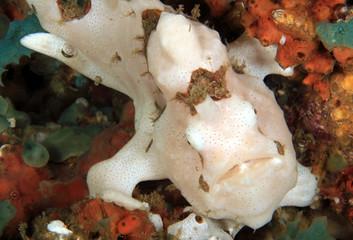 White Clown Frogfish (Antennarius maculatus, aka Warty Frogfish). Anilao, Philippines