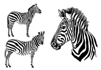 Graphical set of zebras isolated on white background,vector