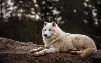Foto auf Leinwand Wolf Portrait of Arctic wolf.