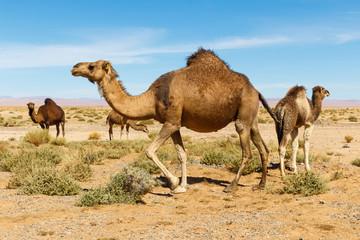Camel in the desert in Morocco
