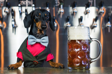 dog dachshund bartender, black and tan, in a bow tie and a suit at the bar counter sells a large glass of beer on the background of a wall with beer taps
