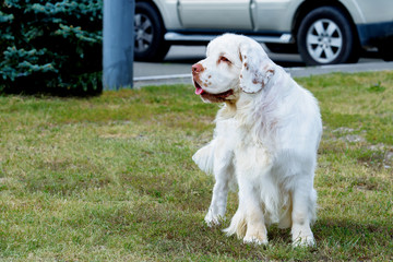 Clumber Spaniel looks aside. The Clumber Spaniel stands on the grass in the park.