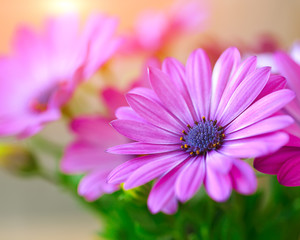 Vibrant beautiful purple daisies.