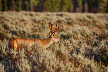 Mule deer with velvet antlers standing in a sagebrush flat