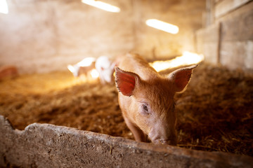 A small piglet in the farm. Swine in a stall. Group of pig in the countryside farm.