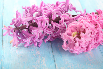 Background with fresh pink, violet hyacinths on cyan wooden planks. Selective focus. Place for text.Spring flowers.The perfume of blooming hyacinths is a symbol of early spring.