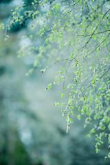 Birkenast im Frühling