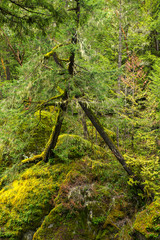 View of mossy tree trunk in old growth rain forest in Vancouver Island, BC
